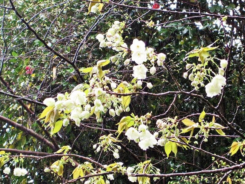 白笹稲荷神社/珍しい鬱金桜と御衣黄桜咲く