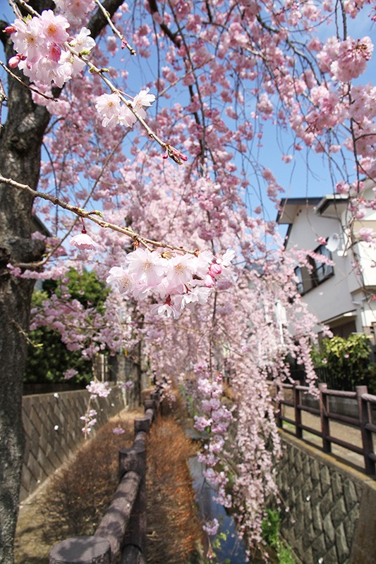 北矢名/川面彩るしだれ桜