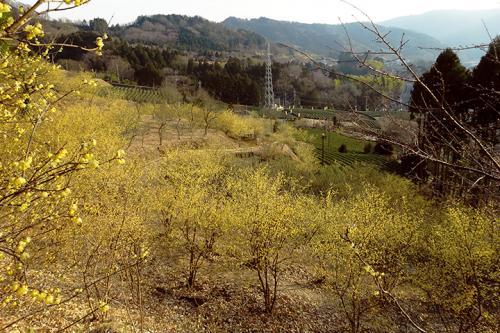 松田町『寄ロウバイまつり』日本最大級2万本のロウバイ園!里山に広がる甘い香り