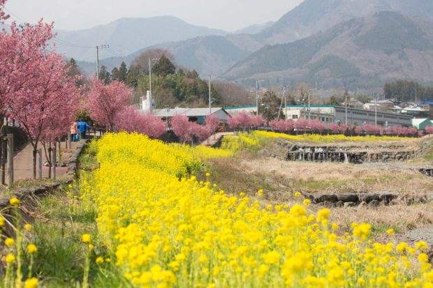 平和橋/おかめ桜と菜の花の競演 雄大な表丹沢バックに