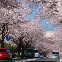 はだの桜みち/神奈川県内最長の桜並木