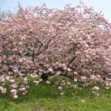 <お花見ハイク>八重桜の里山をゆく 頭高山散策コース