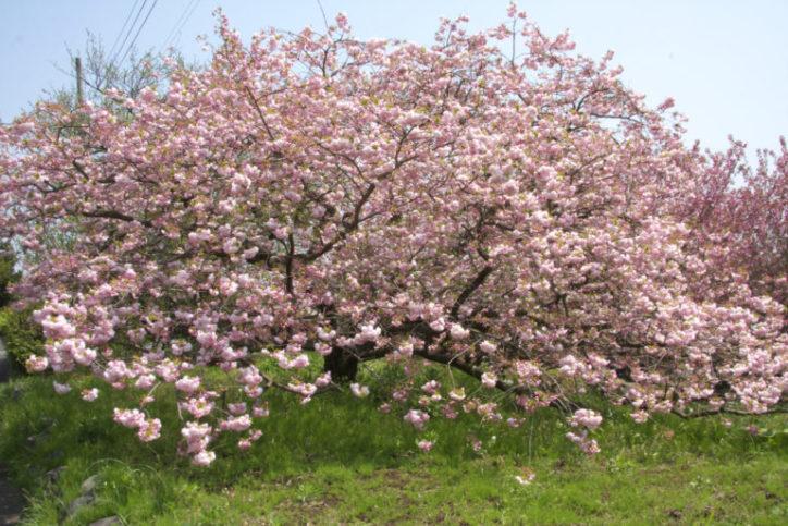 八重桜が咲き誇る頭高山のある千村地区
