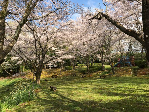 震生湖公園/ソメイヨシノ天高く咲き誇る