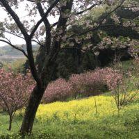 頭高山/八重桜と菜の花の絶景望む里山