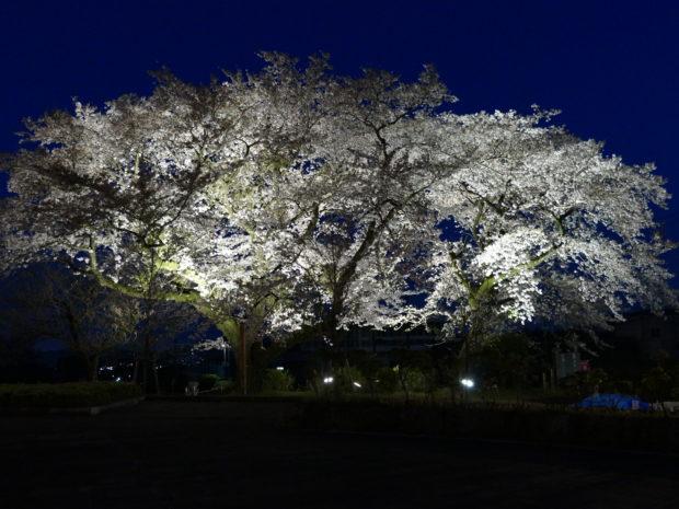 神奈川県立秦野戸川公園/八重桜と風の吊り橋ライトアップ