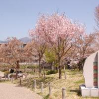 今泉名水桜公園/秦野駅近で一年中桜が楽しめる