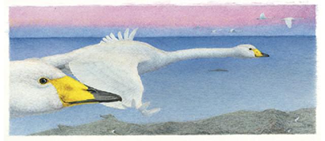 絵本『宮沢賢治の鳥』原画展 15日には舘野鴻さんのギャラリートークも