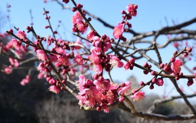 梅が見ごろ 大倉山公園  観梅会も開催