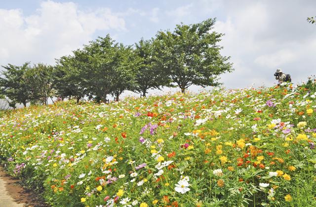 平塚花菜ガーデン、10月上旬位までコスモスなど見ごろです。