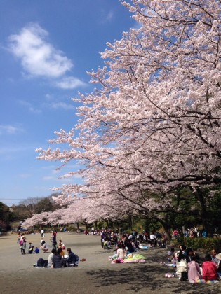 町田の桜まつりが熱い!!@芹ケ谷公園多目的広場