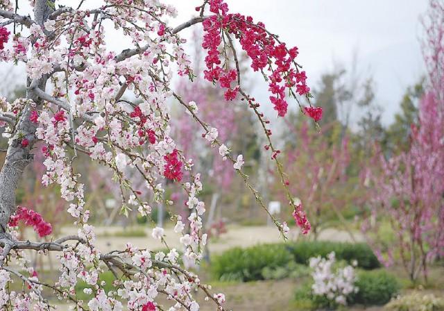 湘南・平塚 花菜ガーデンで春散歩 ハナモモが見ごろです