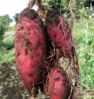 【先着10組】親子でサツマイモの収穫体験@二宮町