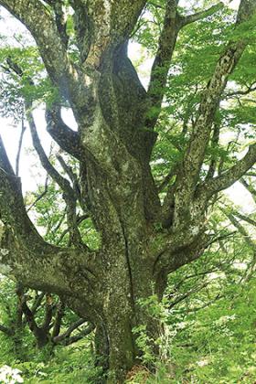 新緑のブナ林を満喫する 「箱根三国山ハイキング」開催