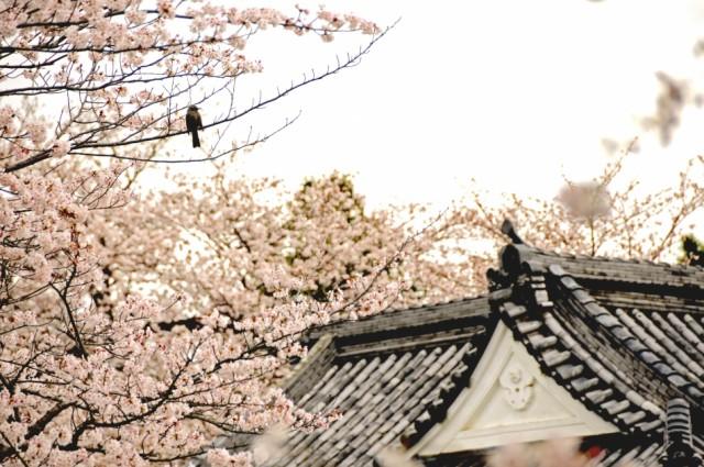 かまぼこと桜、一緒に楽しむ「小田原かまぼこ桜まつり」