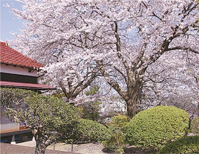 古民家『なごみ邸』で観桜会―満開の桜を愛でる