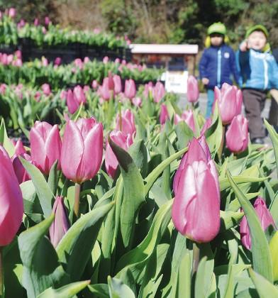 くりはま花の国 春告げるチューリップ