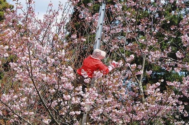 HADANO頭高山の八重桜がそろそろ見ごろですよ!