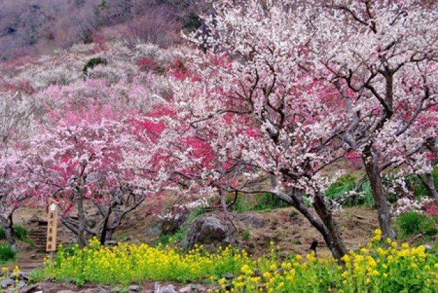 湯河原 湯河原梅林「梅の宴」梅いっぱい