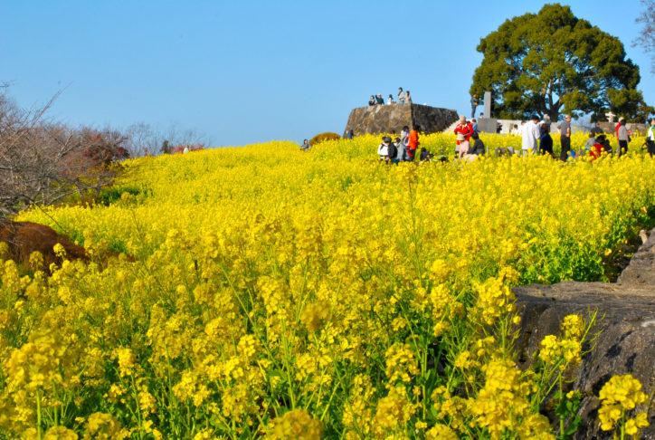 湘南にのみや吾妻山で早咲き菜の花6万株と相模湾、富士山の大パノラマ満喫