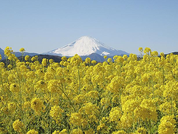 湘南にのみや 吾妻山菜の花ウォッチング 早咲き6万株と相模湾、富士山を望む大パノラマ