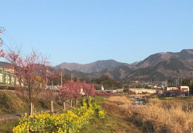 秦野・おかめ桜の定点観測2019
