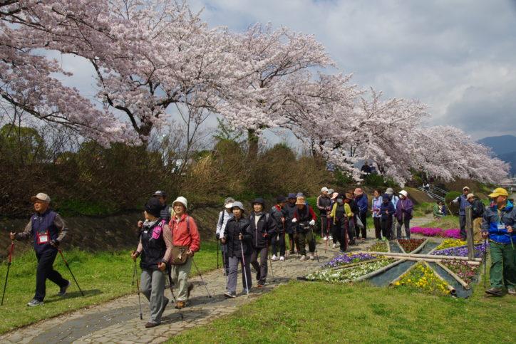 ポールウォーキングで楽しむハダ恋桜