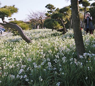 早春運ぶ、水仙の甘い香り楽しんで「城ヶ島公園水仙まつり」