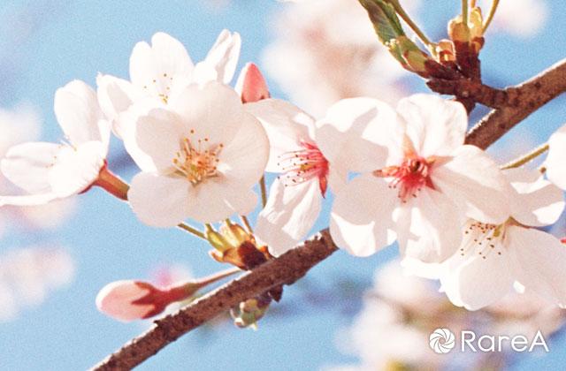 早咲きの玉縄桜愛でながらウォーキング!「第7回麻生の歴史散策」