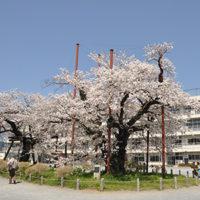 南小学校/校庭の桜は『かながわの名木100選』