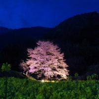蓑毛/秘境に咲く日本三大桜「淡墨桜」