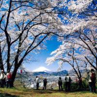 <感動の絶景>桜と富士山コラボも 弘法山ハイキングコース