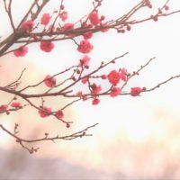 【かながわの花の名所100選】徳富蘇峰記念館庭園の梅
