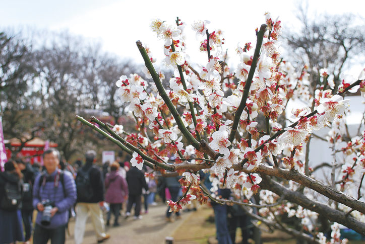 大倉山公園梅林で春を告げる「第31回大倉山観梅会」梅酒の新酒試飲や模擬店も