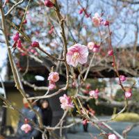 大磯・旧吉田邸では約50本が見ごろ~3月上旬まで