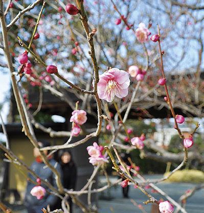 【神奈川・東京多摩 観梅スポット2018】梅の名所・梅まつり・開花情報集めました
