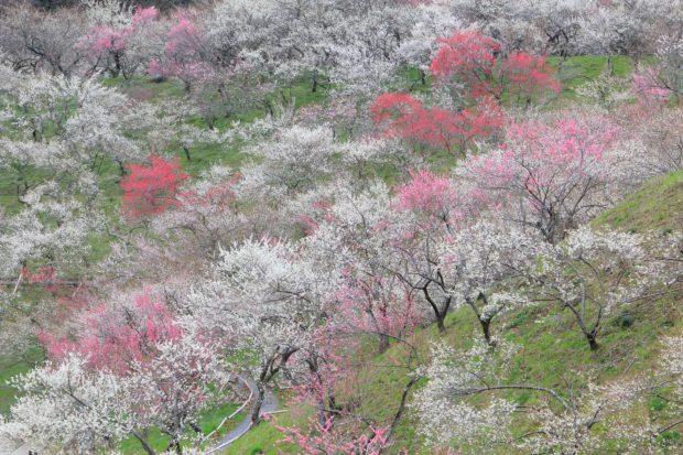 高尾山の麓に広がる絶景「高尾梅郷」 梅まつりではお茶会やグルメ満喫