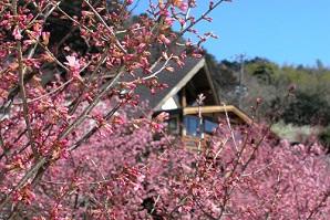 早咲き桜と小田原グルメ、相模湾の絶景も満喫「根府川おかめ桜まつり」