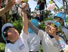八重桜の摘み取り