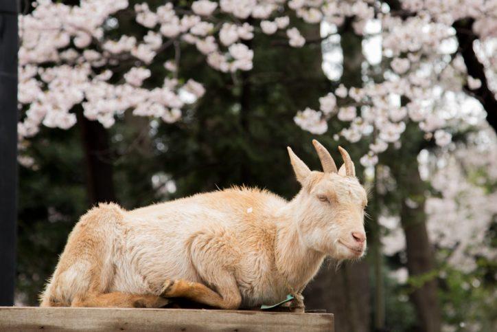 動物と桜、一緒に楽しめる川崎の無料動物園「夢見ヶ崎動物公園」