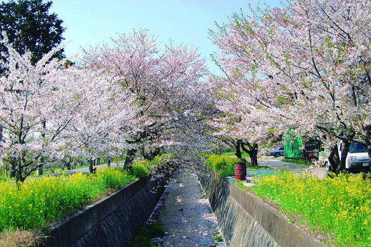 小田原・剣沢川辺に寄り添う700mの桜並木「田島桜の里」4月は桜まつり