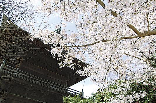 浄土式庭園が美しい「称名寺」裏山には桜300本(横浜・金沢文庫)
