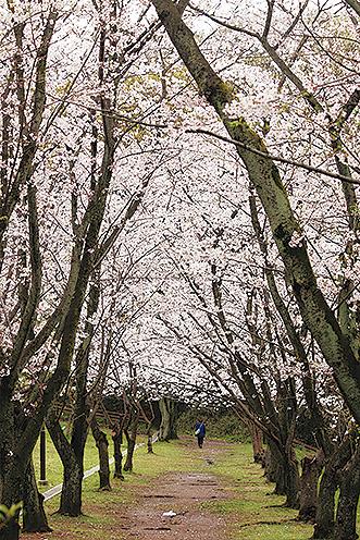 丘に約300本の桜「久良岐公園」お花見散策におすすめ(横浜市港南区・磯子区)