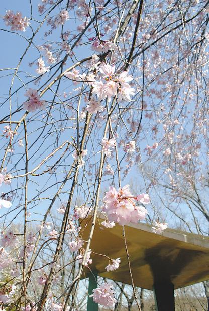 日本さくら名所100選「三ツ池公園」桜78品種が4月下旬まで楽しめます(横浜市鶴見区)