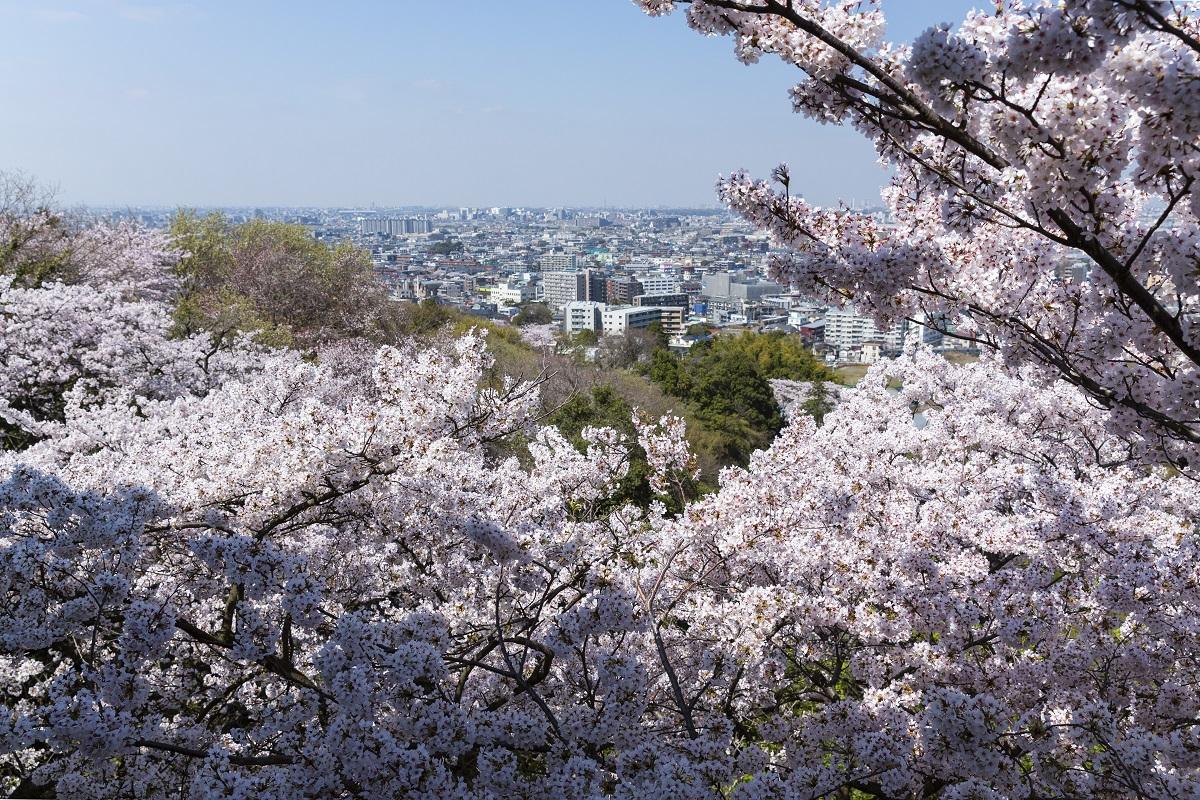 川崎・生田緑地で桜や富士山の大パノラマ望む!2020年は3月12日開花しました【枡形山広場展望台】