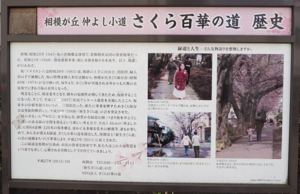 桜64品種咲き競う1.6㎞の「相模が丘仲よし小道」二度咲きの桜・アーコレードも(座間市)