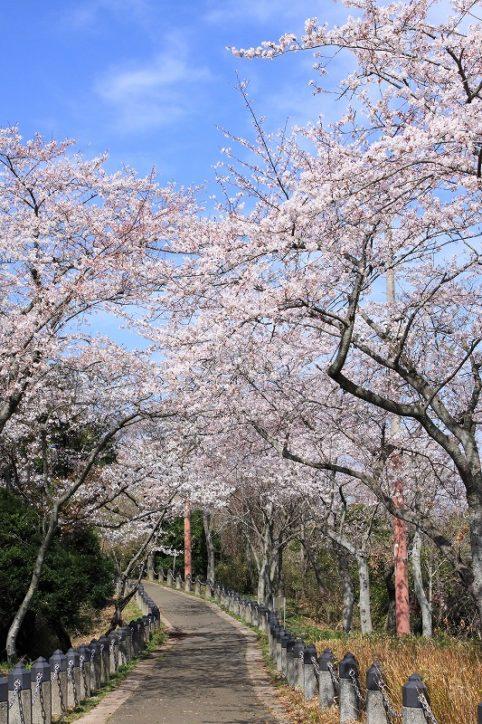 ハイキングがてら桜を満喫!日本さくら名所100選「衣笠山公園」でも桜まつり