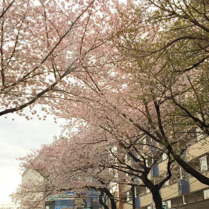 「さぎ沼さくらまつり」2019年4月6日開催!遅咲きの桜スポット鷺沼駅前「春待坂」