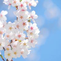 【神奈川・東京多摩の桜特集2021】異例の早さで開花!?ご近所お花見!穴場は?