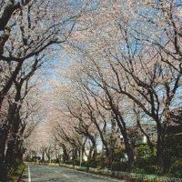 綾瀬・綾西緑地で愛でる530mの桜トンネル【かながわのまちなみ100選】